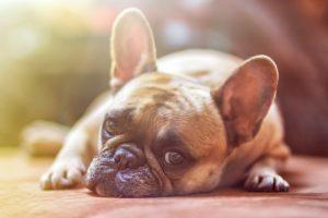 Assurance chien